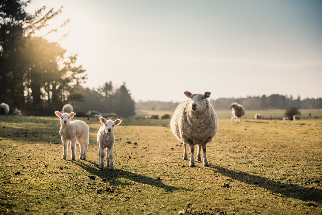 Our Lamb Livestock - Morrisons Farming
